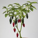 Jalapeno Dark Red Chilipflanze