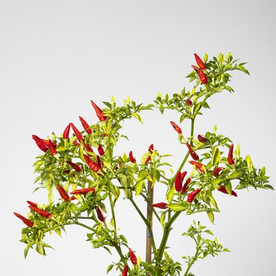 Matchbox Pepper Bio Chilipflanze