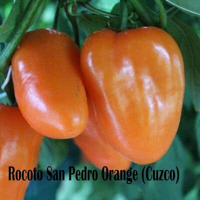 Rocoto San Pedro Orange Chilipflanze