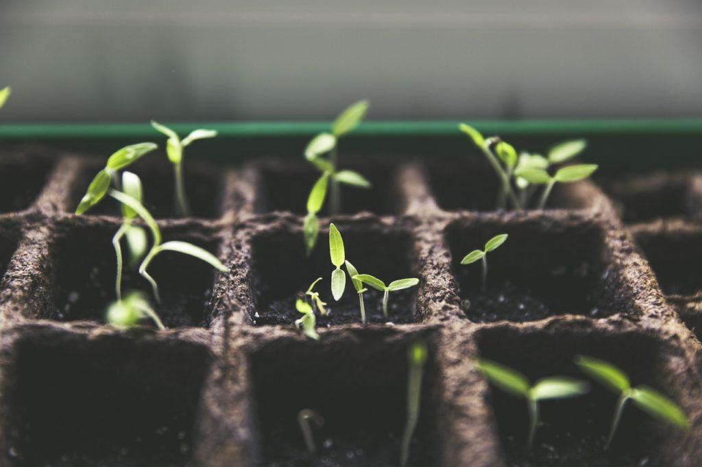 Bild Chilis einpflanzen