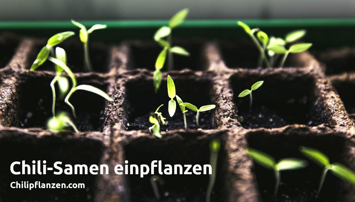 Chilis einpflanzen Facebook Bild