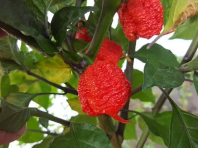 Bild Carolina Reaper Chilipflanze