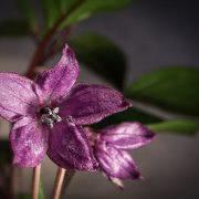 Bild Rocoto Blüte