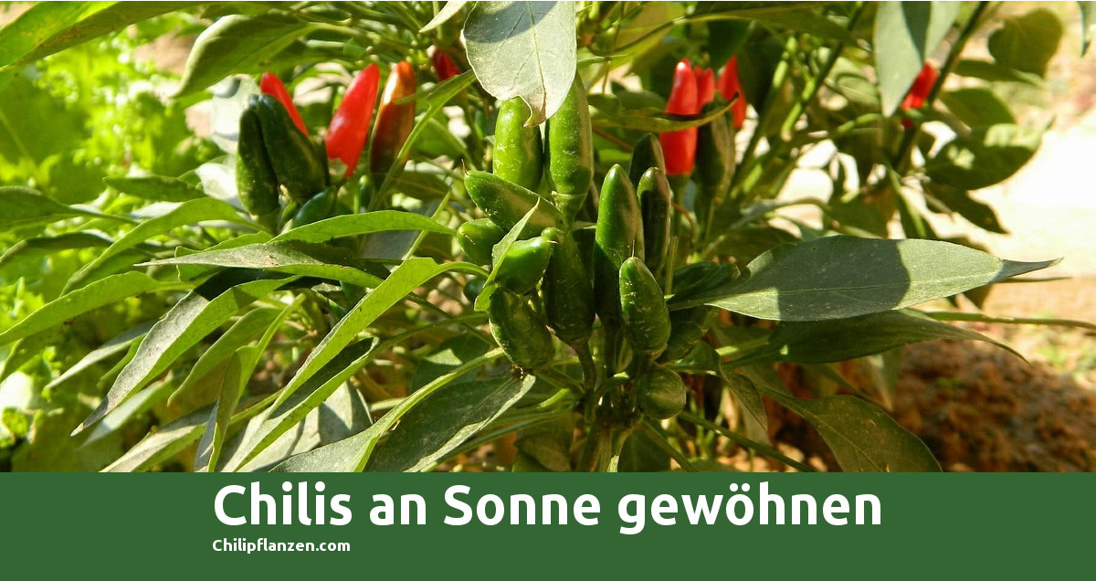 Bild Chilli-Peppers Sonne FB