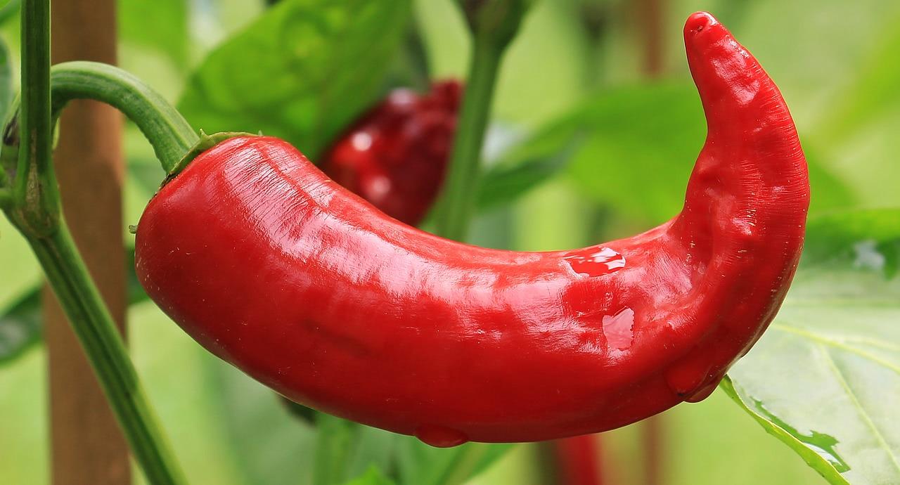 Bild feuchte Chilischote