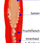 Chilischote Querschnitt