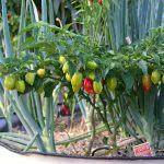 Bild Chilis zum Überwintern im Kübel