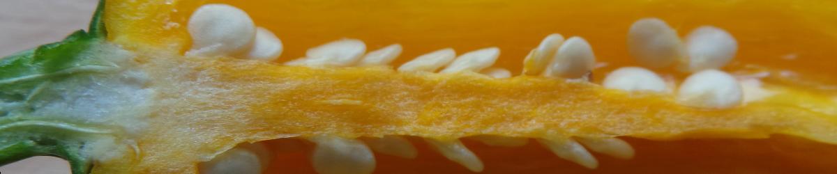 Bild halbierte Chili mit Plazenta und Samen
