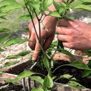 Bild Chili Blätter