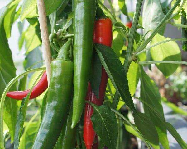 Bild Große Chilipflanze