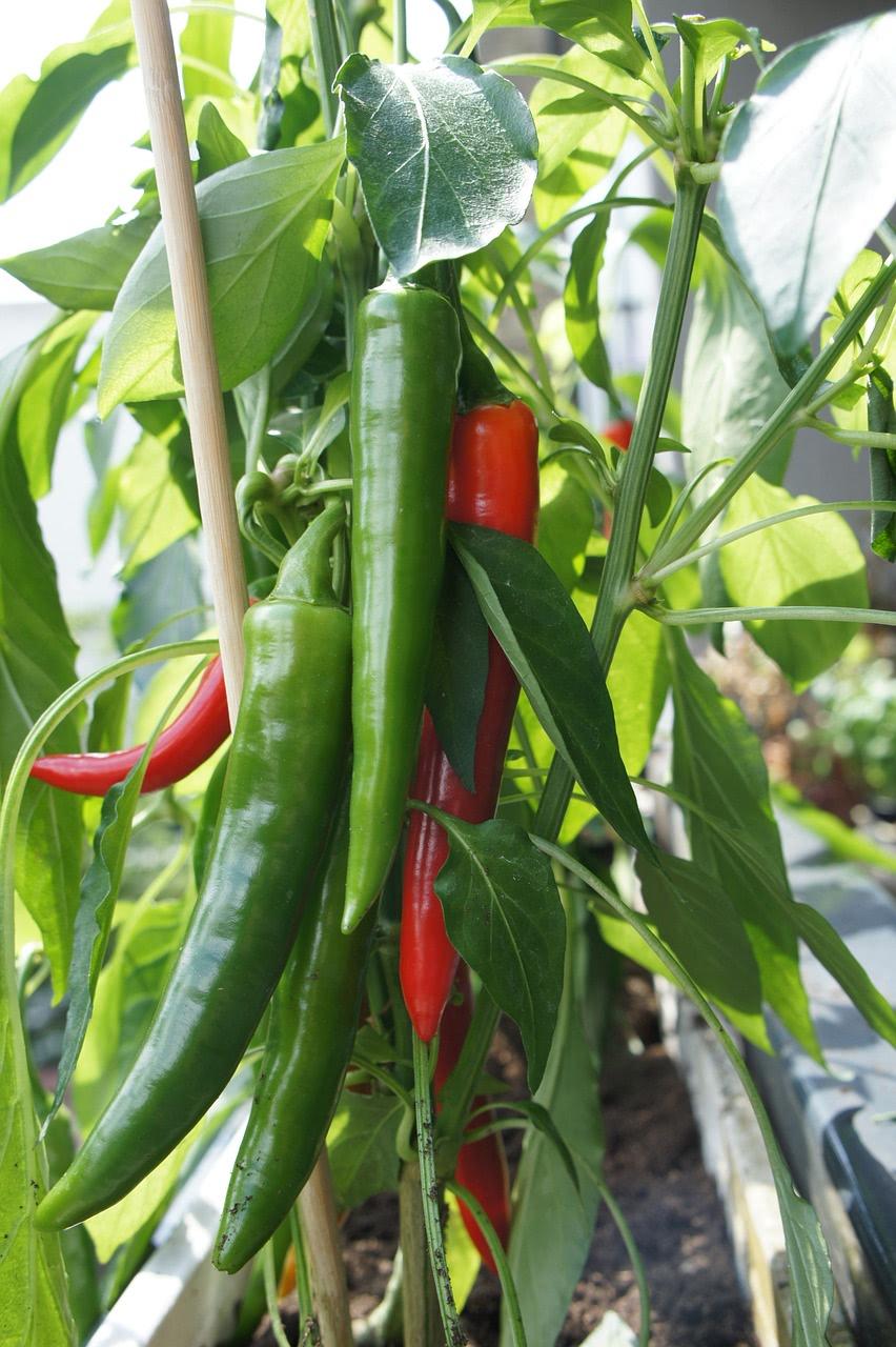 Große Chilipflanze