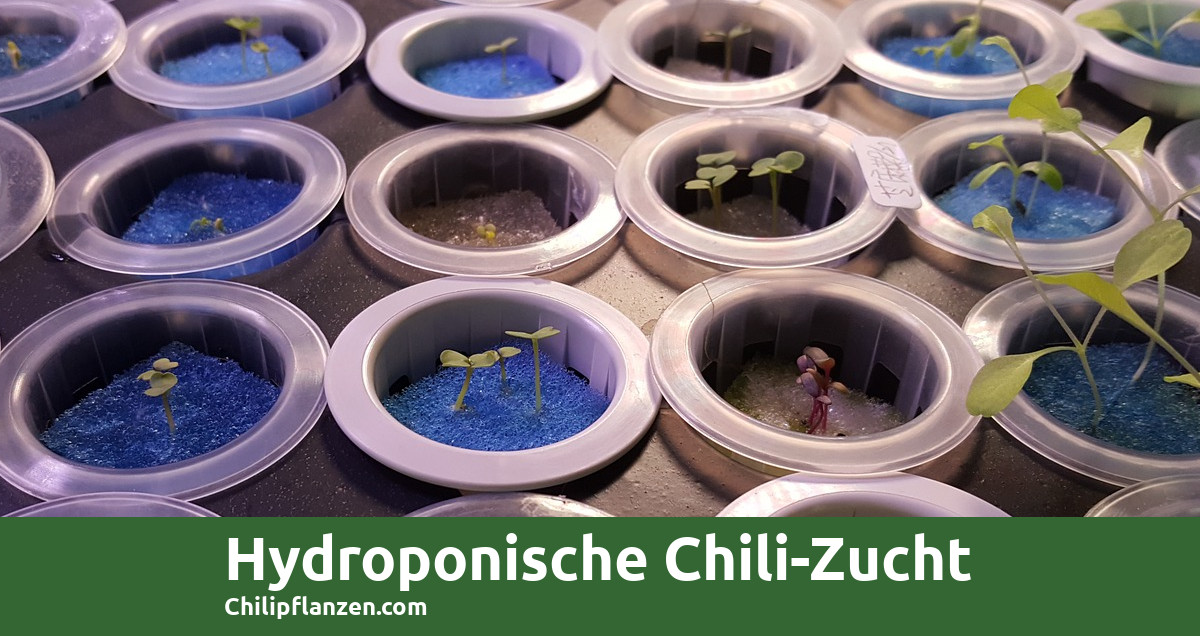 hydroponic-chillis-fb