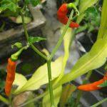 Bild schlecht wachsende Chili