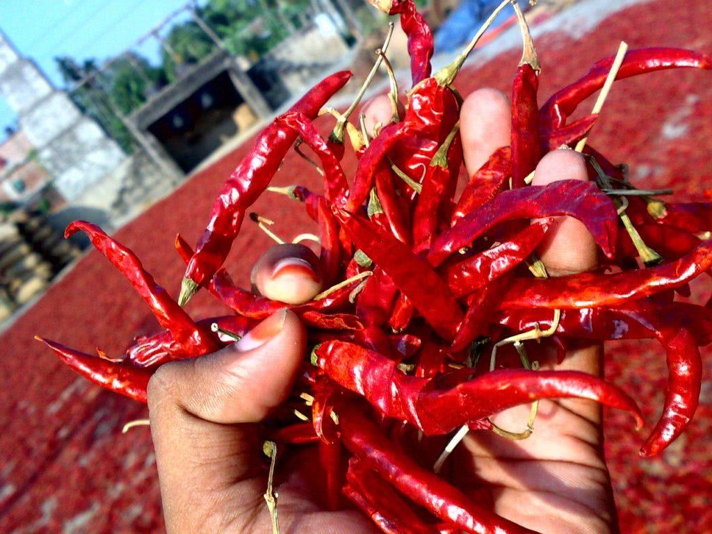 Bild Chilis trocken