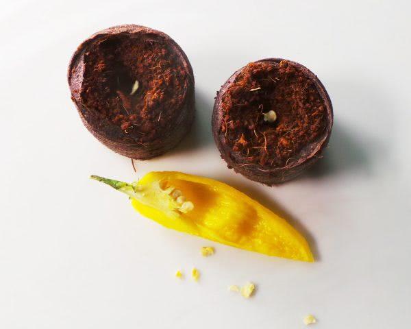 Bild Samen aus Habanero