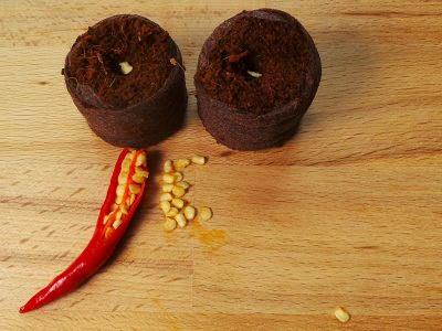 Bild frische Thai Chilisamen