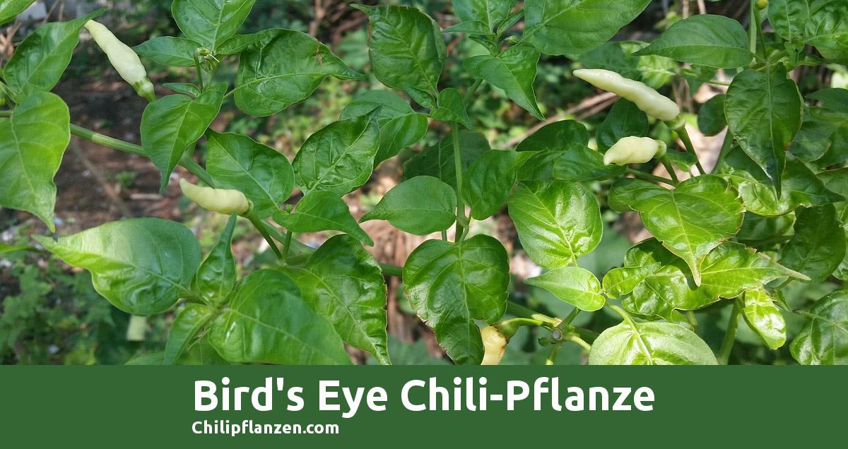 Bild Chilli Peppers Birds Eye FB