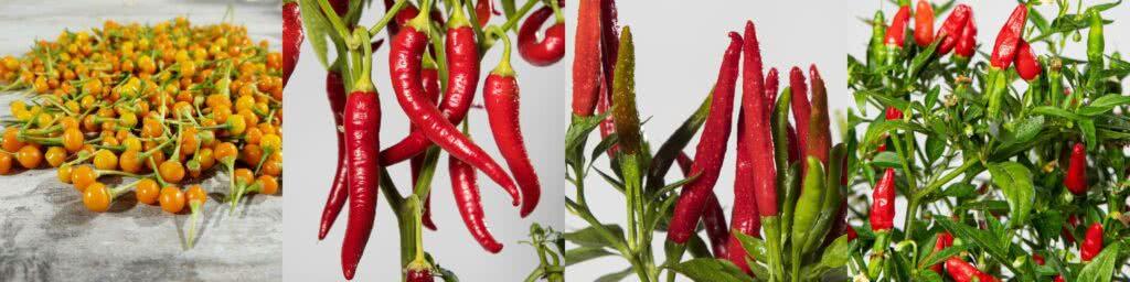 Chili Samen Übersicht