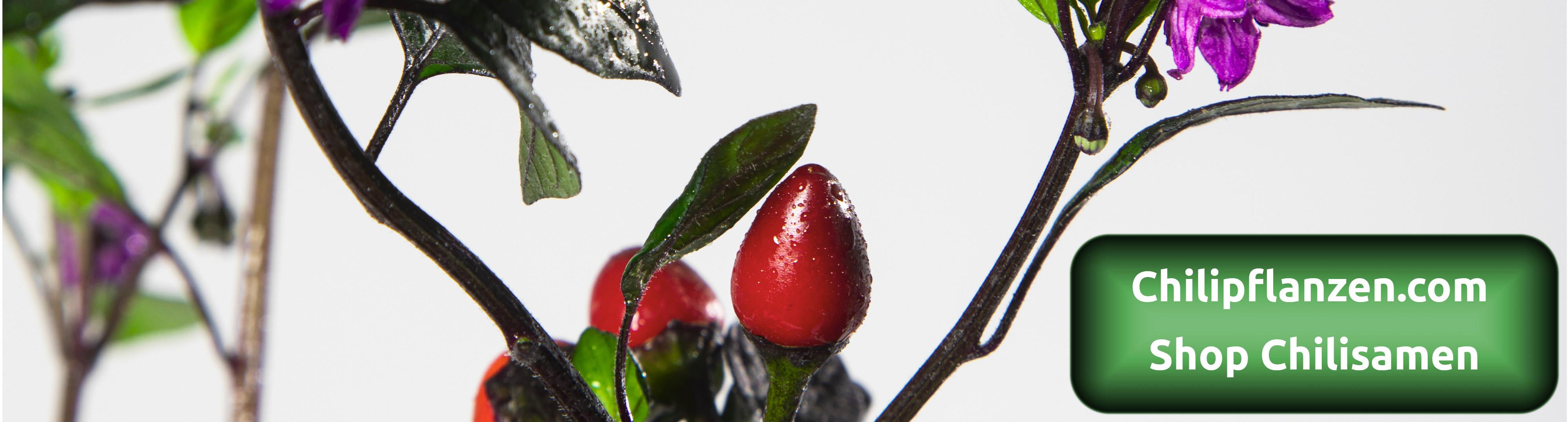 Chili-Samen-Pflanzen