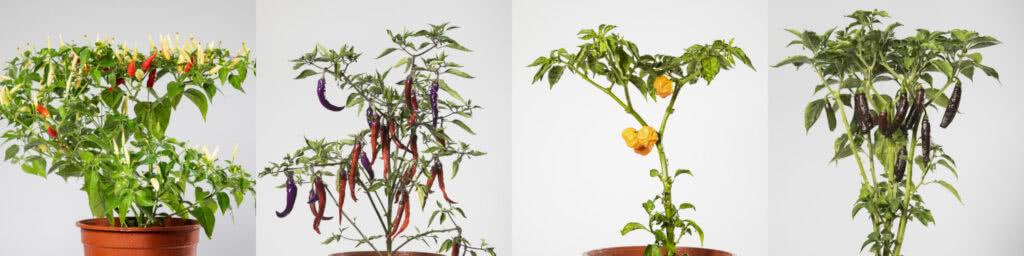 Chili Pflanzen Übersicht