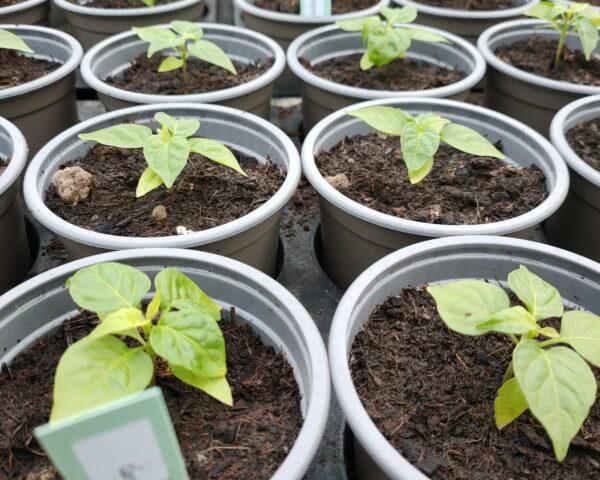 Chili Jungpflanze Topf