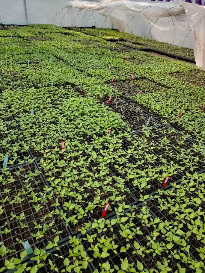 chili-pflanzen-beet